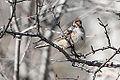 American Tree Sparrow (11168096855).jpg
