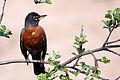 American robin 20140512 Edit 1.jpg