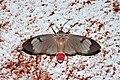 Amerila omissa (Arctiidae Arctiinae).jpg