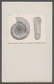 Ammonites colubrinus - - Print - Iconographia Zoologica - Special Collections University of Amsterdam - UBAINV0274 091 01 0046.tif