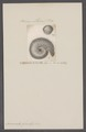 Ammonites gervillei - - Print - Iconographia Zoologica - Special Collections University of Amsterdam - UBAINV0274 091 01 0091.tif