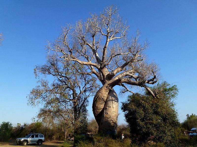 File:Amoureux Baobab Morondava Madagascar - panoramio.jpg