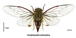 Amphipsalta zelandica dorsal.jpg