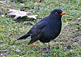 Amselbulle - Blackbirdbull (16579420740).jpg