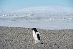 An Adélie Waddles Towards Secretary Kerry and his Traveling Party in Antarctica (30279238064).jpg