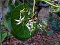 Anacardium occidentale - flower 02.JPG