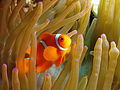 Anemonefish at Gilli Banta.JPG