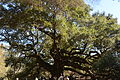 Angel Oak Tree.JPG