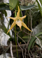 Detail of a star-shaped yellow orchid flower with six tepals