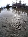 Animal tracks at Wenatchee River at Blackbird Island Leavenworth Washington 1.jpg