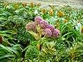 Anisotome latifolia.jpg