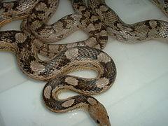 Anna and Tiko breeding 2008 (2341208883).jpg
