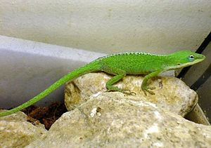 Carolina anole - Female