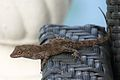 Anolis cristatellus in Picard, Dominica-2012 02 15 0349.jpg