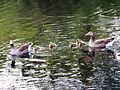 Anser anser with goslings - Orpington - 3.jpg