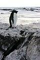 Antarctica Adelie Penguin.jpg