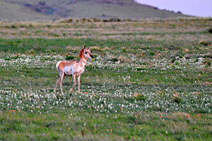 Clayton, New Mexico - Young pronghorn near Clayton