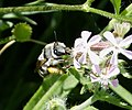 Anthophora species - Flickr - gailhampshire.jpg