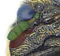 Anthrenocerus australis detail1.jpg