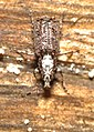 Anthribidae (25523759343).jpg