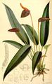 Anthurium scherzerianum CBM.png