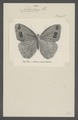 Antirrhaea - Print - Iconographia Zoologica - Special Collections University of Amsterdam - UBAINV0274 049 01 0019.tif