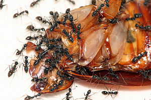 English: Ants feeding on an American cockroach.