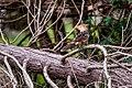 Anu-branco (Guira guira) - Guira Cuckoo.jpg