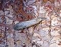 Aphomia sociella (42023475721).jpg