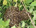 Apis mellifera swarm, Trawscoed, North Wales, June 2015 - Flickr - janetgraham84.jpg