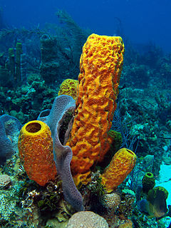 Aplysina fistularis (Yellow tube sponge)