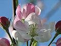 Apple Blossoms (483881210).jpg