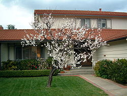 Apricot in bloom.jpg