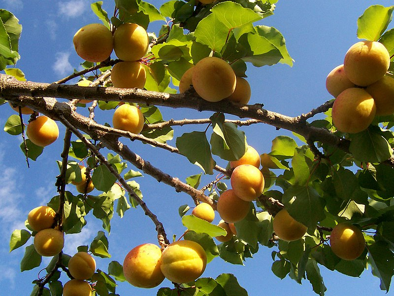 Aprikosen am Baum
