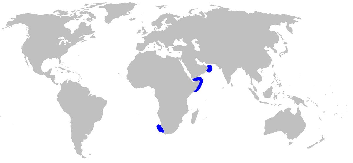 Индийская чёрная кошачья акула
