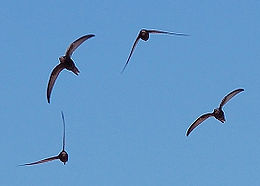 Apus apus flock flying 1.jpg