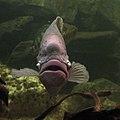 Aquarium tropical de Pierrefitte-Nestalas 03082018 Gourami géant 1.jpg