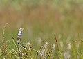 Aquatic warbler (Acrocephalus paludicola) 03.jpg