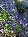 Aquilegia coerulea 'Blue & White' kz01.jpg