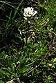 Arabis soyeri subsp subcoriacea RF.jpg