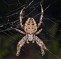 Araneus diadematus MHNT Femelle Fronton.jpg