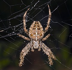 240px araneus diadematus mhnt femelle fronton