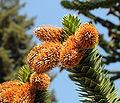 Araucaria araucana cones at Hulda Klager Lilac Gardens.jpg