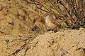 Aravalli BiodivPark Gurgaon DSC9113 v1.JPG