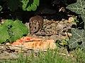 Arboretum Zürich - Hausmaus -fraglich- 2014-08-22 17-40-14 (P7800).JPG