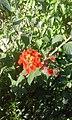Arbuste à fleurs rouge-oranges.jpg