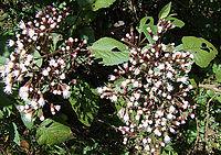 A. schiedeana