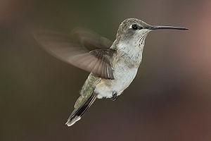 Black-chin hummingbird (Archilochus alexandri)