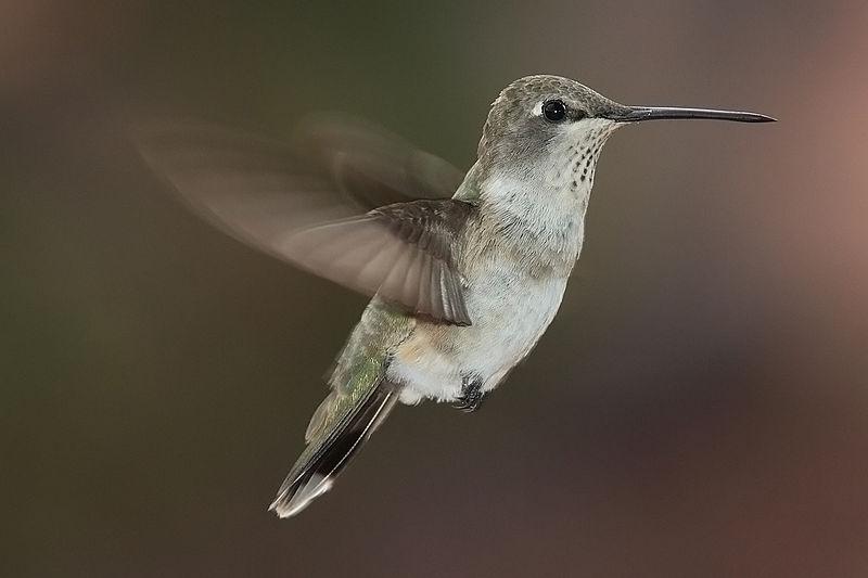 طيور. طائر الطنان. طيور جميله. 800px-Archilochus-al