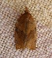 Archips xylosteana. Variegated Golden Tortrix - Flickr - gailhampshire.jpg